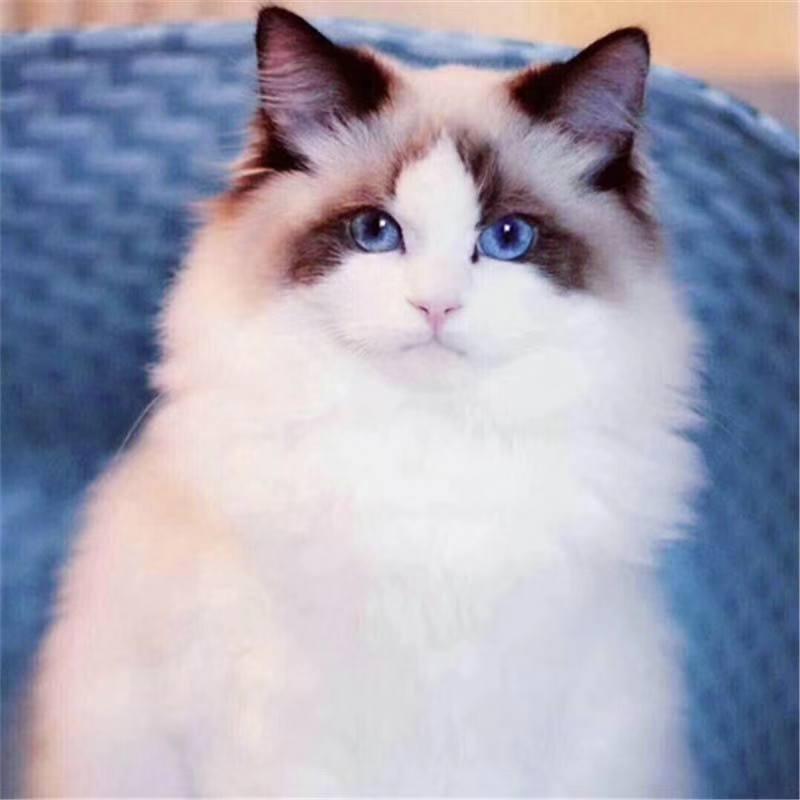 正规CFA猫舍 纯种布偶猫 育苗齐全 包活签协议 送货上门