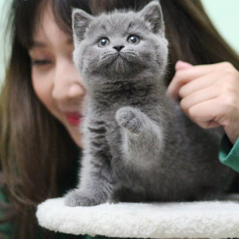 正规CFA猫舍 纯种蓝猫 育苗齐全包活签协议 送货上门