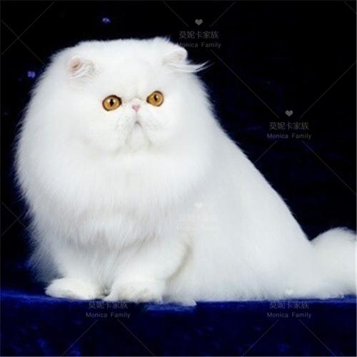 正规CFA猫舍 纯种波斯 育苗齐全包活签协议 送货上门