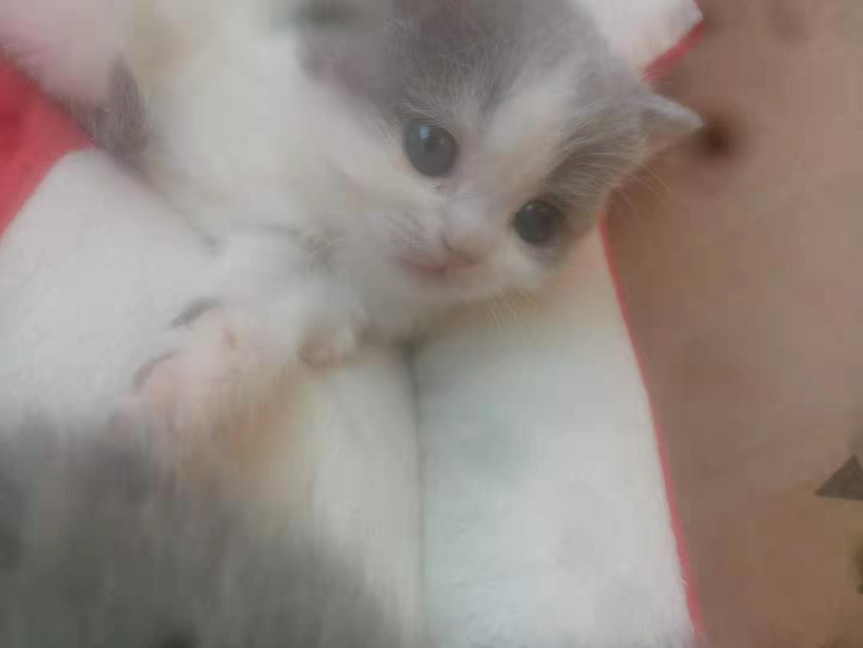 自家繁殖蓝猫曼基康矮脚~~~~