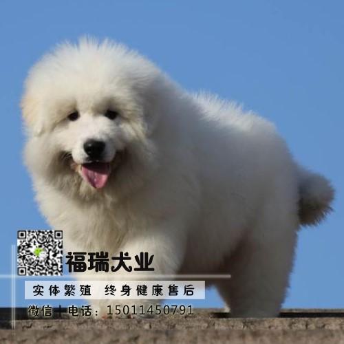高品质纯血赛级大白熊犬幼犬 签订质保协议 全国发货