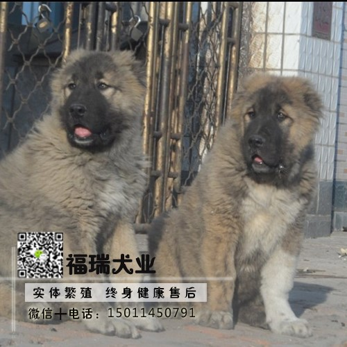 纯种高加索幼犬,高端大气精典品质,绝对信誉保证