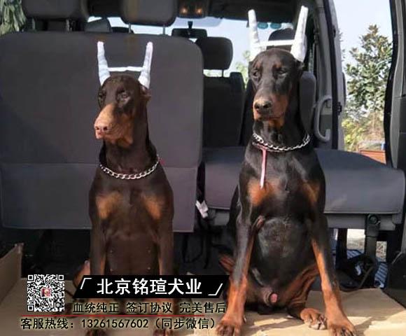 高品质大骨架陪伴犬美系德系杜宾幼犬忠诚护卫犬
