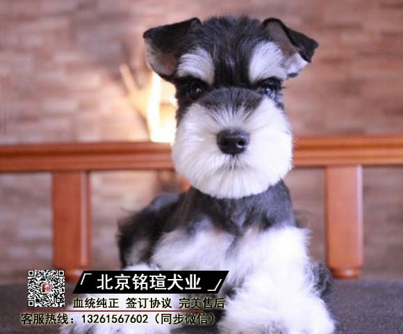 精品雪纳瑞幼犬 自家繁殖 签协议 终身售后