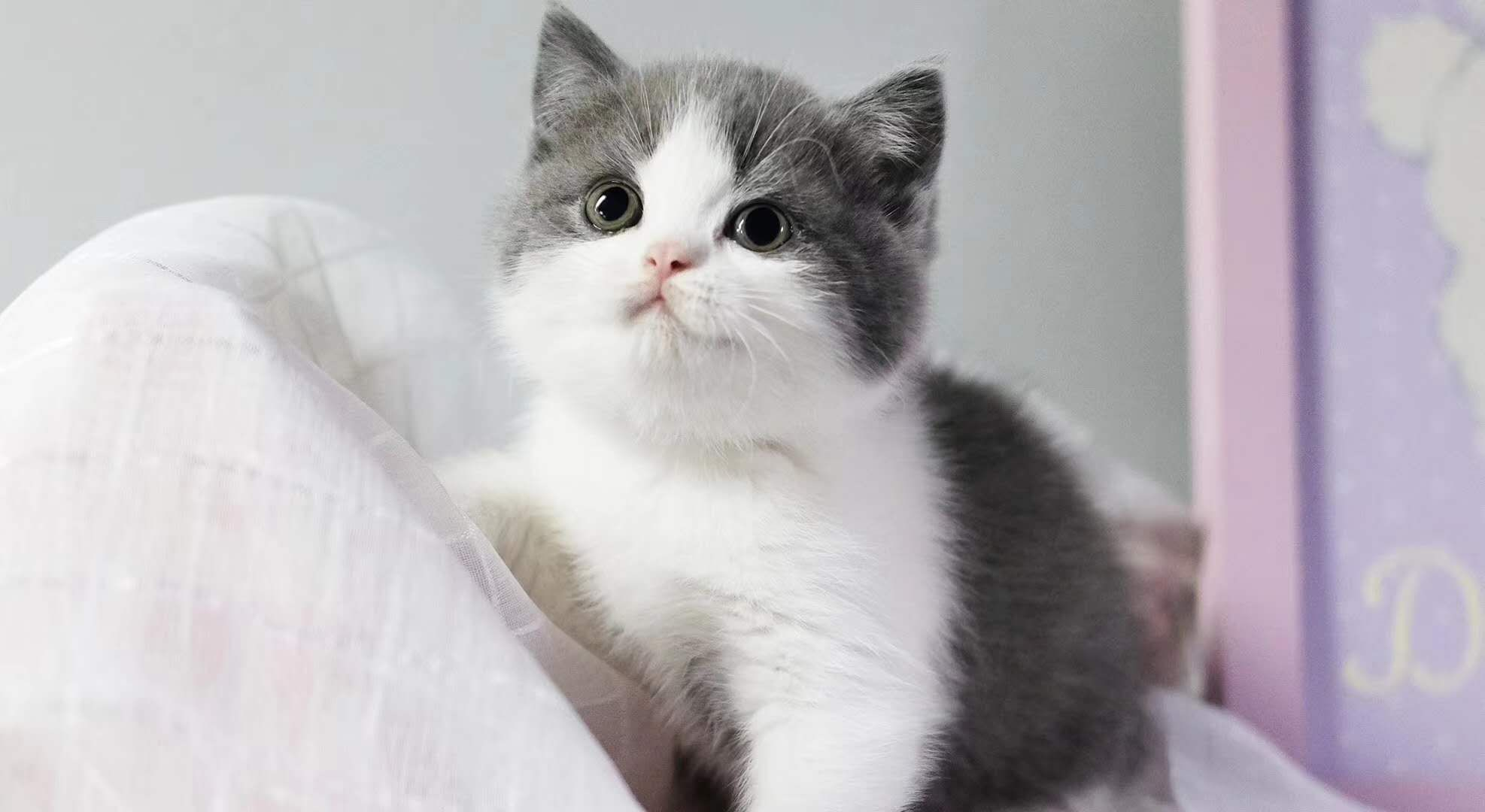 正规CFA猫舍 纯种英短猫 包活签协议