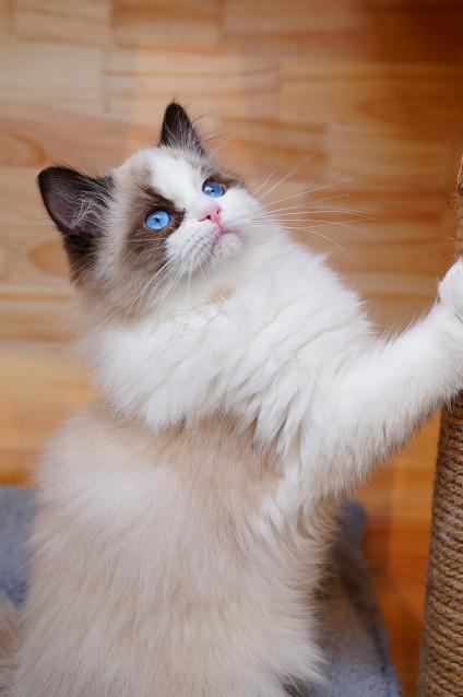 布偶猫出售!纯种,可上店看猫,成都哪里有卖布偶