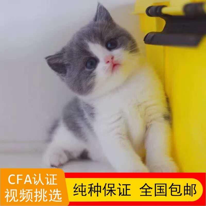 精品英国短毛蓝猫幼猫活体纯种家养宠物猫咪疫苗齐全公母均有