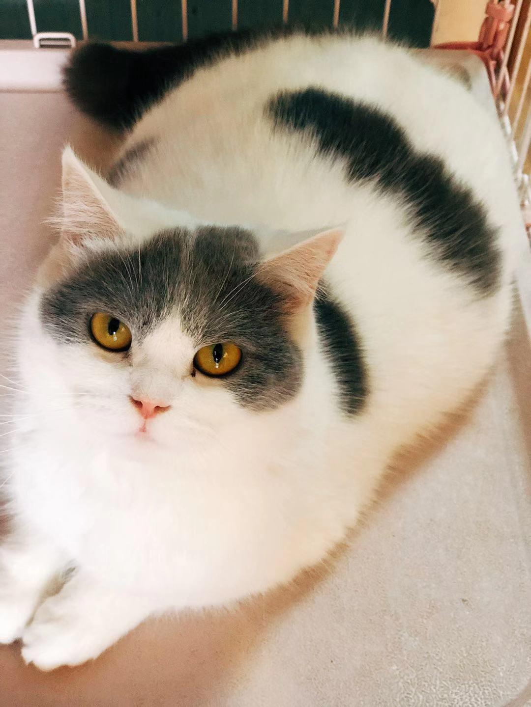 家养英国短毛猫,价格便宜