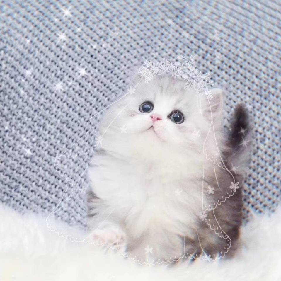 沈阳猫舍给猫宝宝寻主人
