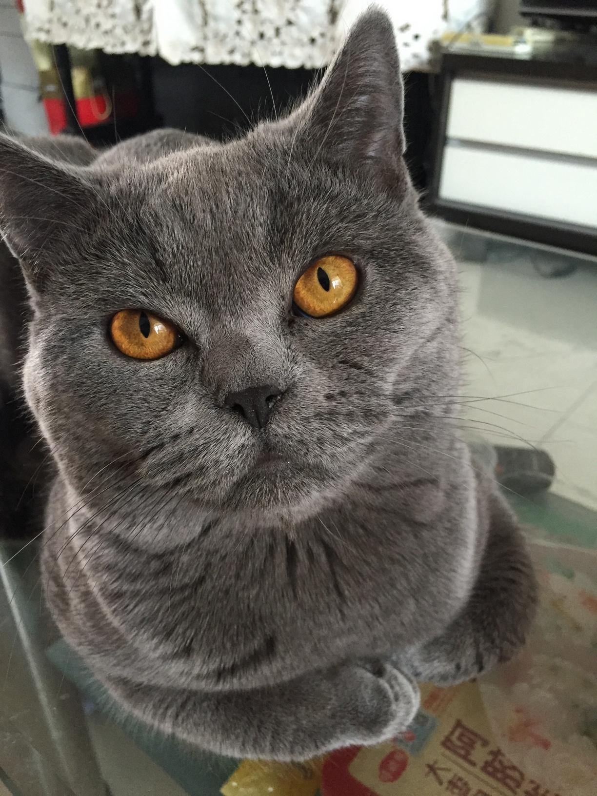 出只公猫,英短蓝猫,11个月大