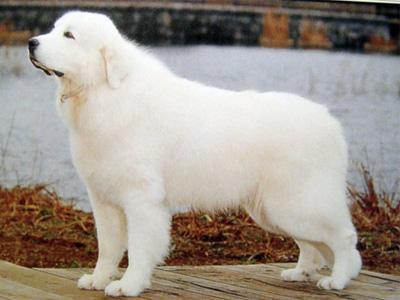 长期出售精品大白熊幼犬 800一只 支持全国送货上门