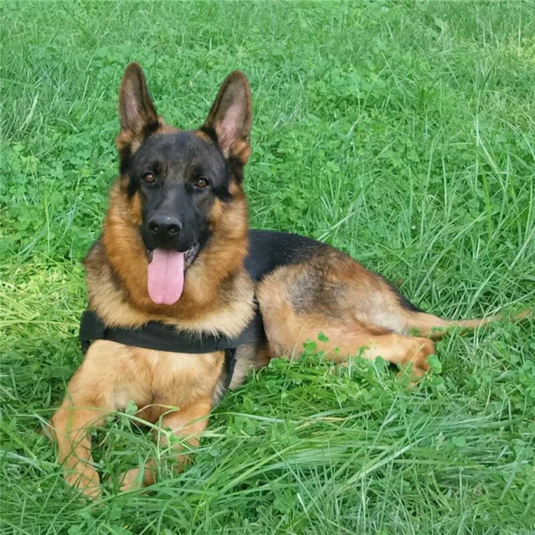 长期出售精品狼狗幼犬 800一只 支持全国送货上门
