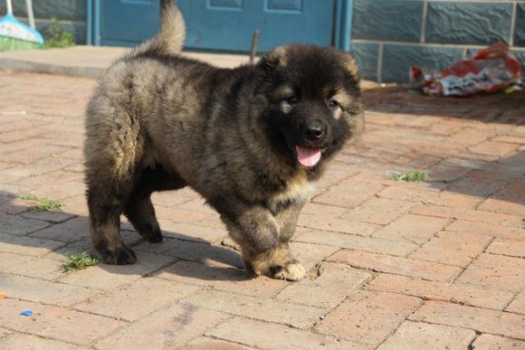长期出售精品高加索幼犬 800一只 支持全国送货上门