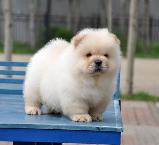 长期出售精品松狮犬幼犬 800一只 支持全国送货上门