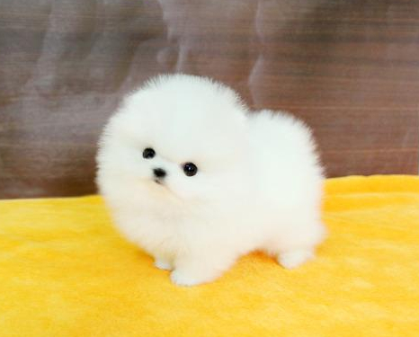长期出售精品博美幼犬 800一只 支持全国送货上门
