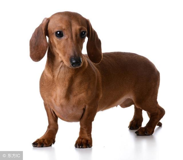 长期出售精品腊肠幼犬 800一只 支持全国送货上门