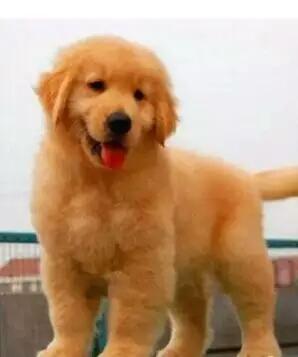 长期出售纯种、赛级金毛幼犬 1000一只 支持全国送货上门