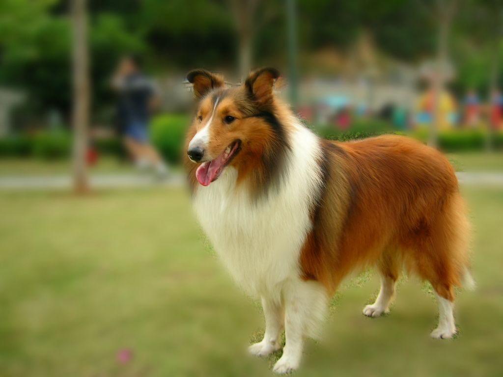 长期出售精品喜乐蒂幼犬 800一只 支持全国送货上门