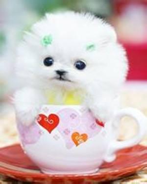 长期出售精品茶杯犬幼犬1000一只 支持全国送货上门