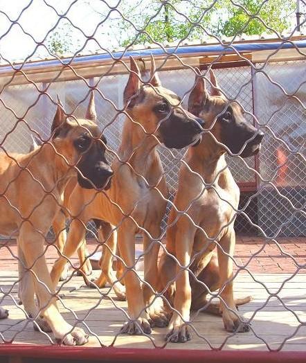 长期出售精品大丹幼犬 2000一只 支持全国送货上门2