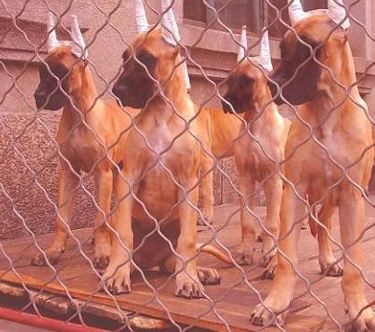 长期出售精品大丹幼犬 2000一只 支持全国送货上门4