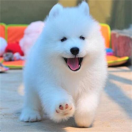 长期出售精品萨摩耶幼犬 1200一只 支持全国送货上门