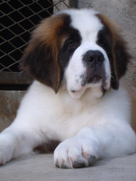 长期出售精品圣伯纳幼犬 800一只 支持全国送货上门
