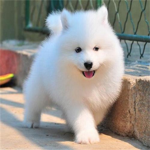 犬舍直销纯种双血统带证书萨摩耶可送货上门全国发货