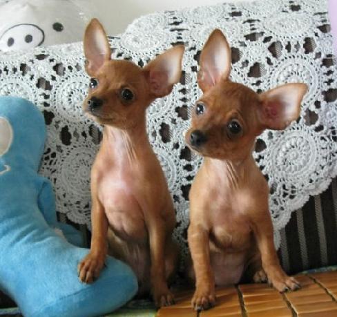 犬舍直销纯种双血统带证书小鹿犬可送货上门全国发货