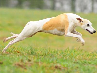 长期出售精品格力幼犬 800一只 支持全国送货上门