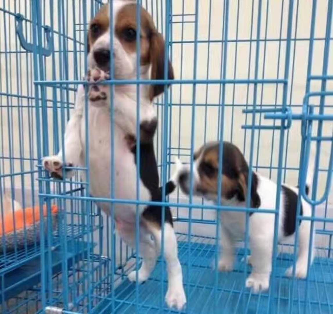 长期出售精品比格幼犬 800一只 支持全国送货上门