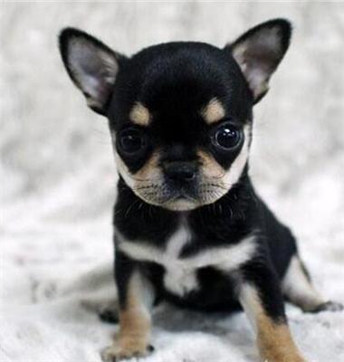犬舍直销纯种双血统带证书吉娃娃可送货上门全国发货