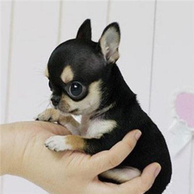 长期出售精品吉娃娃幼犬 800一只 支持全国送货上门