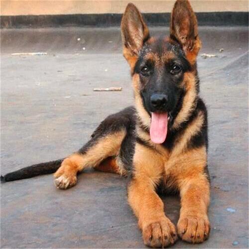 长期出售精品德牧幼犬 800一只 支持全国送货上门