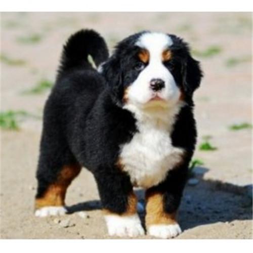 长期出售精品伯恩山幼犬 800一只 支持全国送货上门