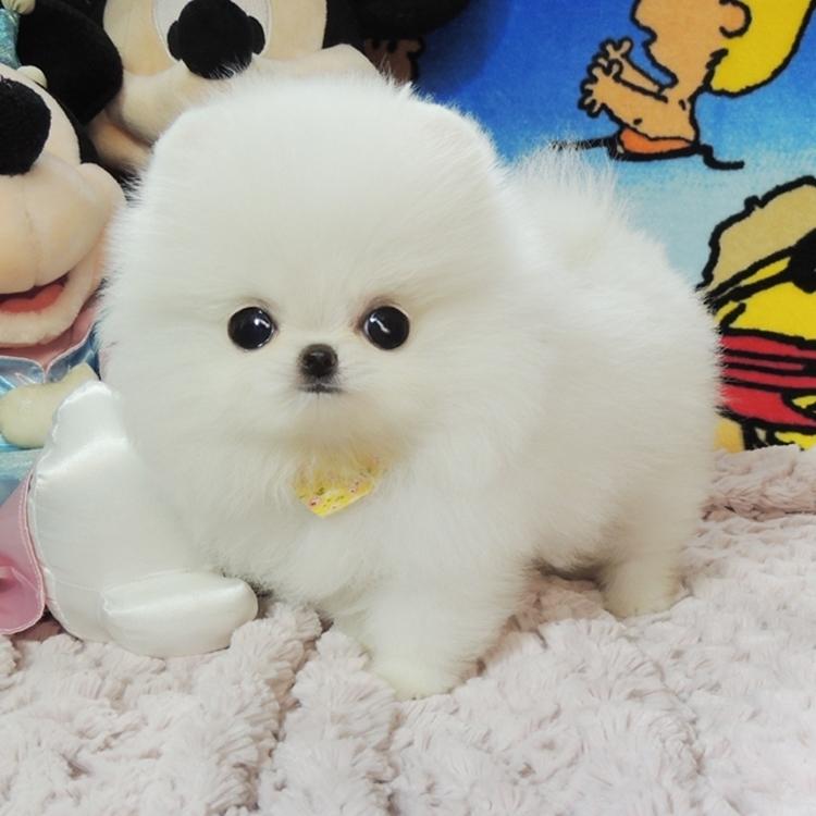 长期出售精品博美幼犬 1200一只 支持全国送货上门
