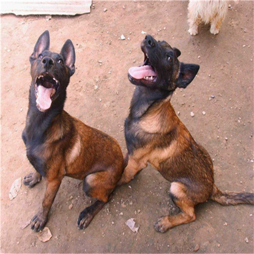 高品质双血马犬定金安排发货手续保障90天健康退换