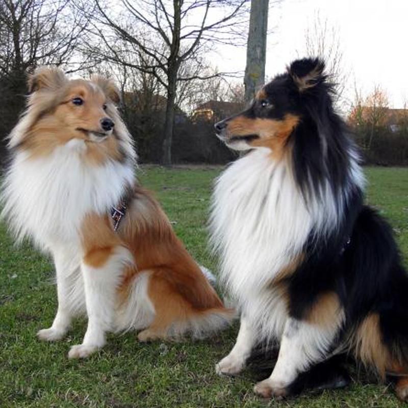 长期出售精品苏牧幼犬 1200一只 支持全国送货上门