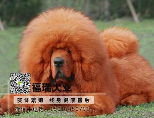 自家狗场繁殖纯种藏獒幼犬 公母均有 全国包邮
