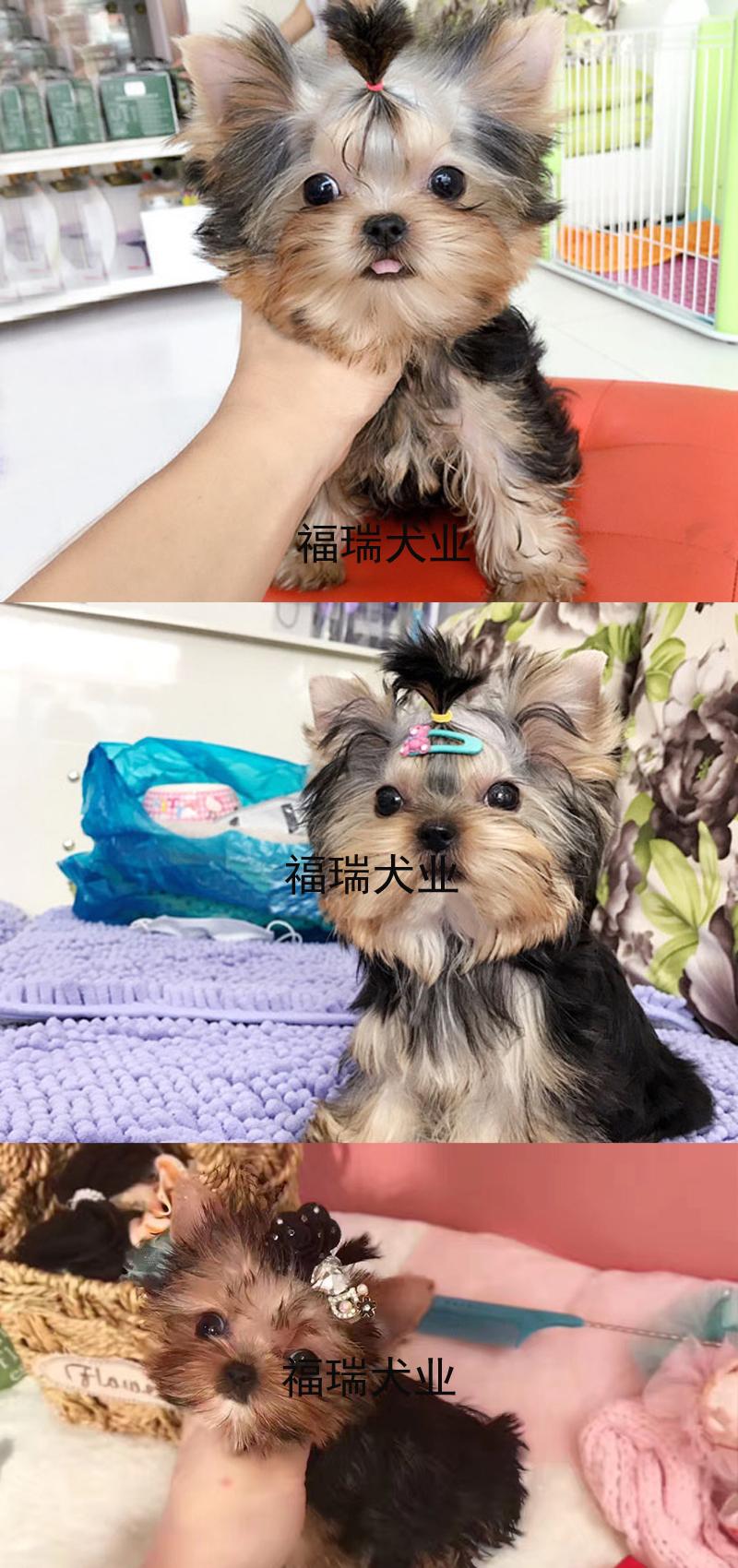 犬舍繁殖金头银背金头纲蓝约克夏幼犬 保纯种健康可测6