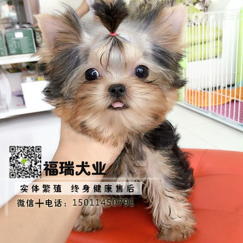 犬舍繁殖金头银背金头纲蓝约克夏幼犬 保纯种健康可测4