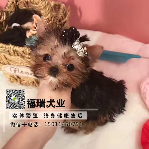 犬舍繁殖金头银背金头纲蓝约克夏幼犬 保纯种健康可测2