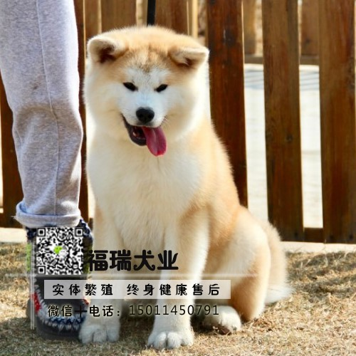 正规犬舍繁殖秋田幼犬、保纯种健康终身质保签合同