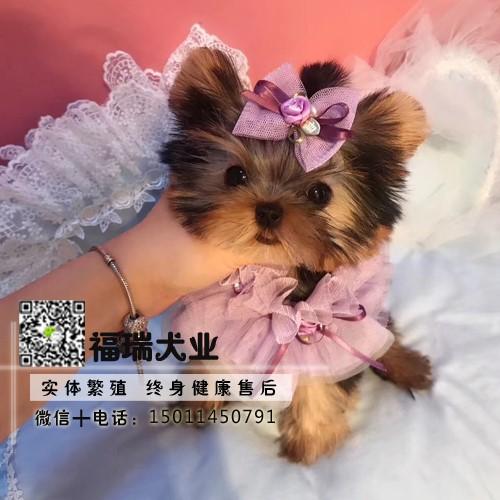 犬舍繁殖金头银背金头纲蓝约克夏幼犬 保纯种健康可测1