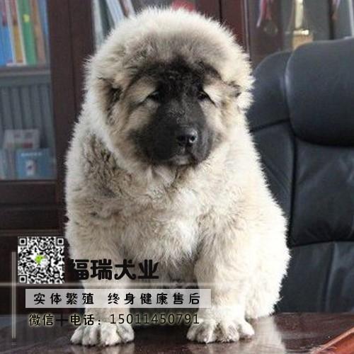 精品专业繁殖纯种健康高加索幼犬 可签协议可送货
