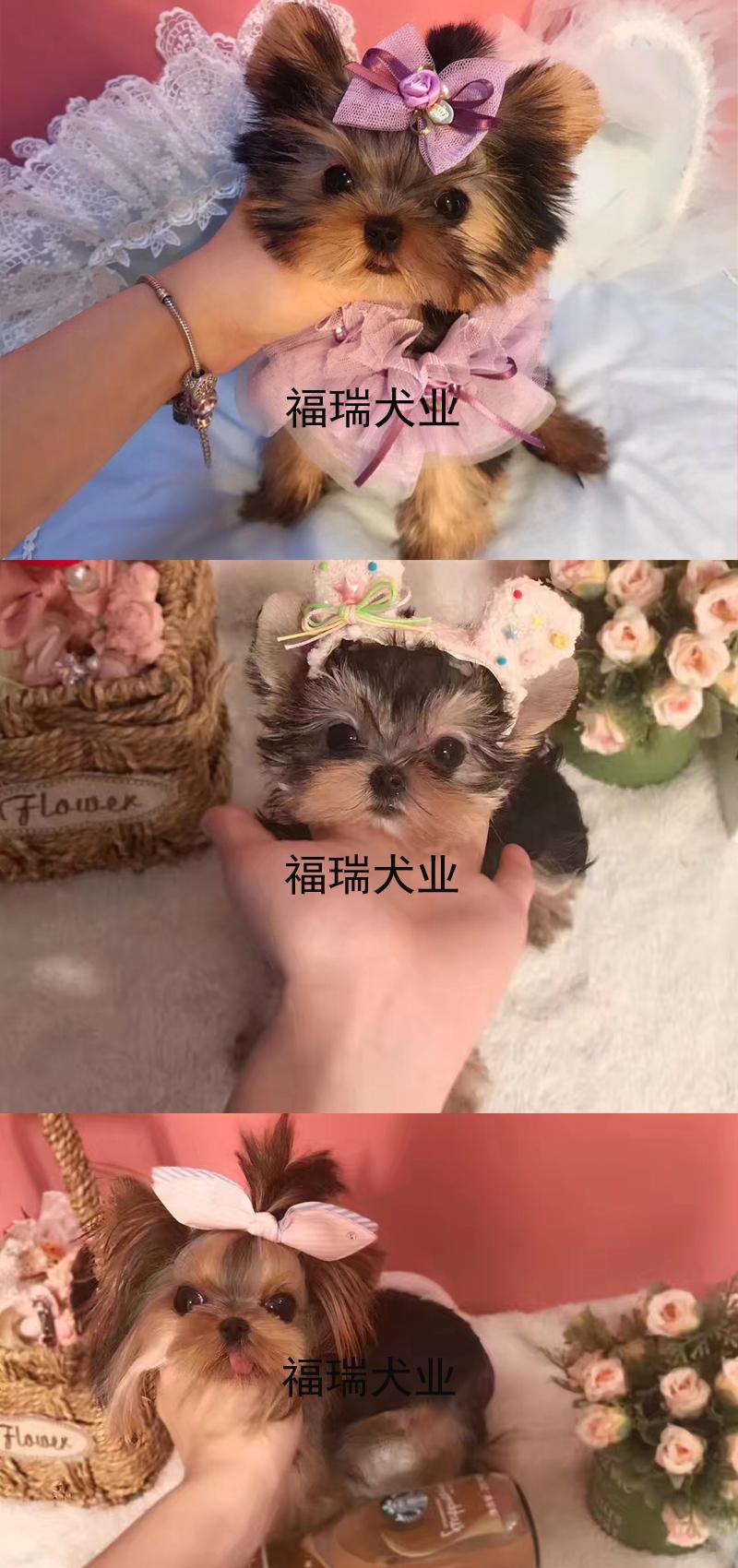 犬舍繁殖金头银背金头纲蓝约克夏幼犬 保纯种健康可测7