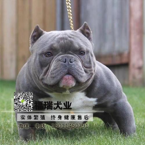 纯种美国恶霸犬幼犬出售赛级恶霸犬专业犬舍繁殖疫苗齐