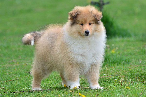 专业繁殖纯种健康的双血统苏格兰牧羊幼犬 冠军品质的传承!5