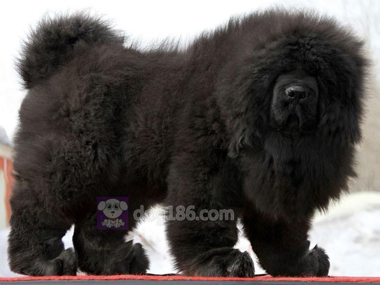 冠军品质的传承!高品质纯种纽芬兰幼犬 保证纯种健康品质3