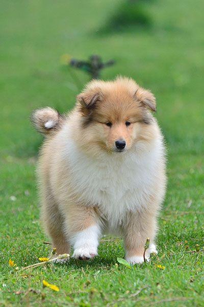 专业繁殖纯种健康的双血统苏格兰牧羊幼犬 冠军品质的传承!6